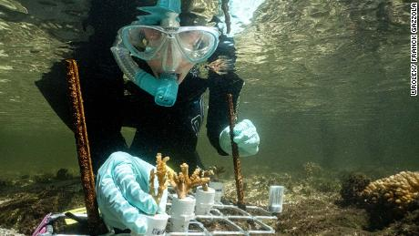 Marine biologist Emma Camp studying mangrove coral on Australia's Great Barrier Reef.
