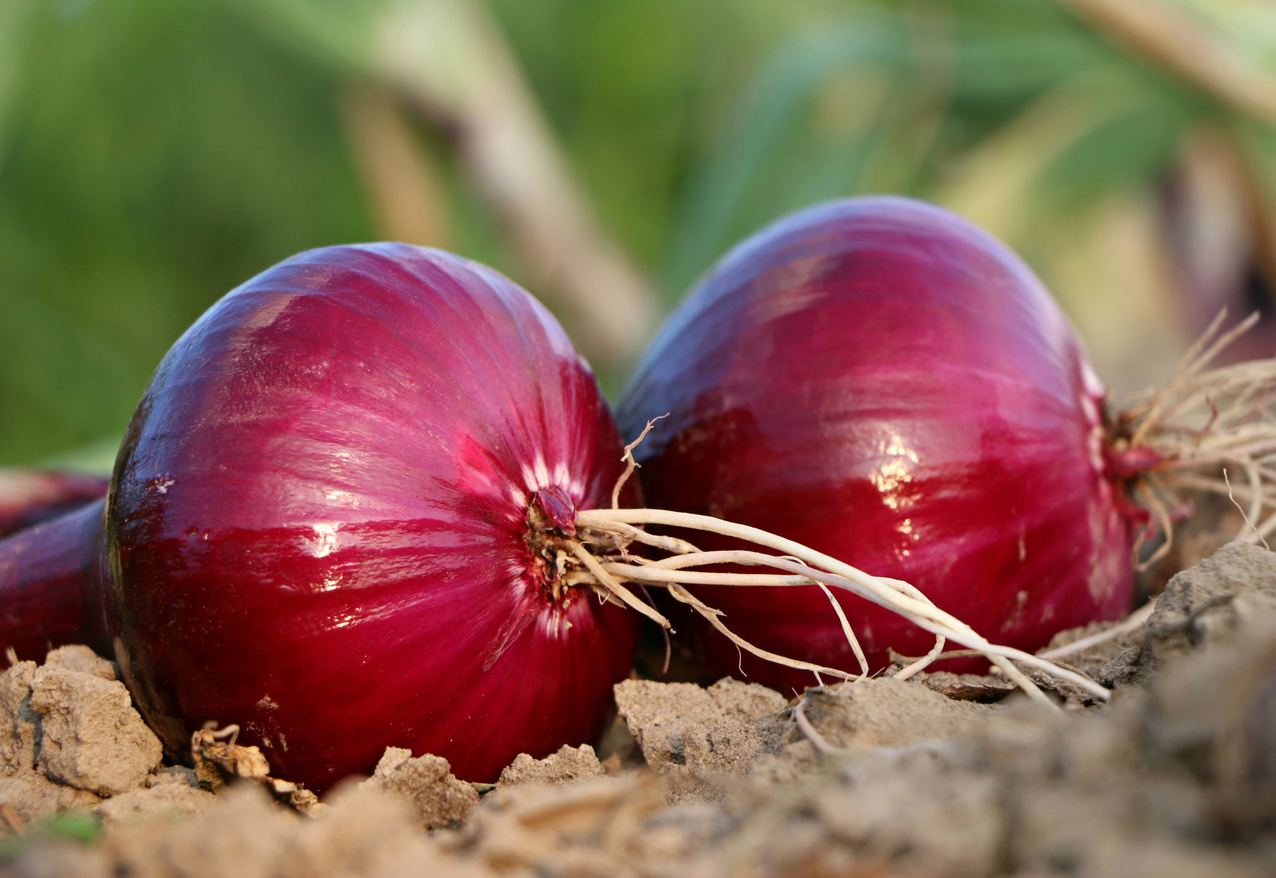 Red onions linked to nationwide salmonella outbreak