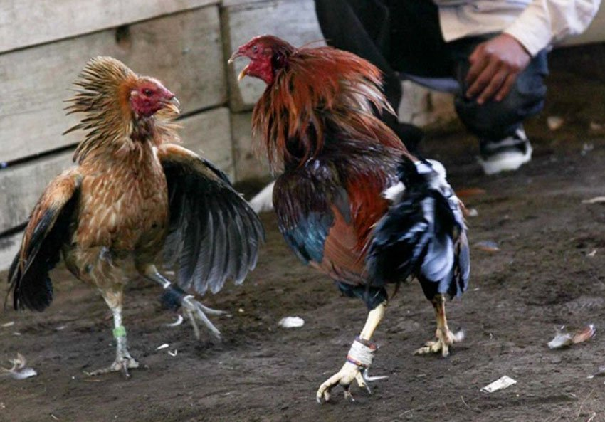 Animal rights group: Feds should probe cockfighting breeders