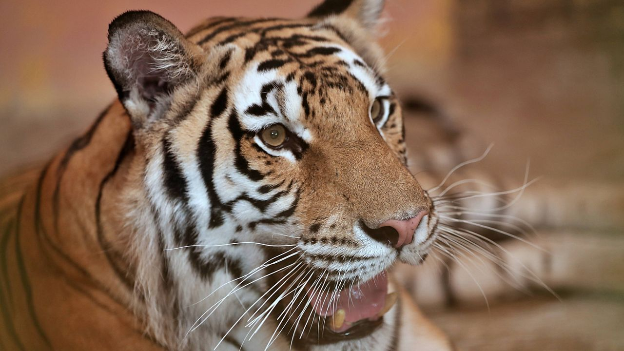 Search Is on For Tiger on the Loose in Tennessee